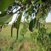 Alnus glutinosa - Planta - 14.9€ - Jardimdaceleste.com - Plantas do Bosque & Jardim!