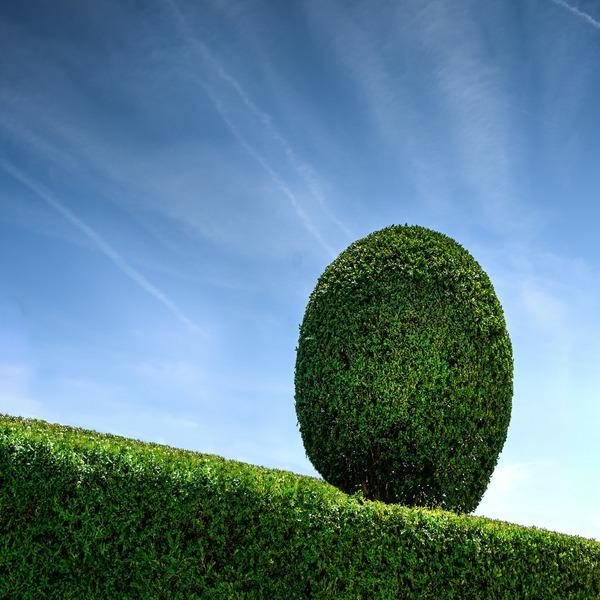Buxus semprevivens - Baby Plant - 2.95€ - Jardimdaceleste.com - Plantas Tropicais & Exóticas!