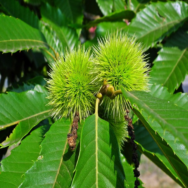 Castanea sativa - Plant - 8.85€ - Jardimdaceleste.com - Plantas do Bosque & Jardim!