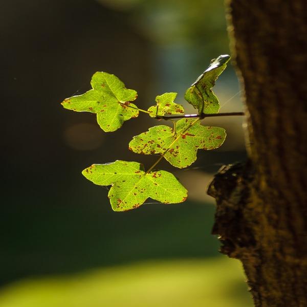 Acer monspessulanum - Plant - 8.55€ - Jardimdaceleste.com - Plantas do Bosque & Jardim!