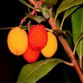 Arbutus unedo (Medronheiro) - Plant - 9.95€ - Jardimdaceleste.com - Plantas do Bosque & Jardim!