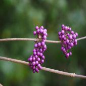 Callicarpa bodinieri giraldii - Planta - 8.85€ - Jardimdaceleste.com - Plantas Tropicais & Exóticas!