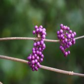 Callicarpa bodinieri giraldii - Plant - 8.85€ - Jardimdaceleste.com - Plantas do Bosque & Jardim!