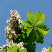 Aesculus Hippocastanum (Castanheiro-da-índia) - Planta - 15.7€ - Jardimdaceleste.com - Plantas do Bosque & Jardim!