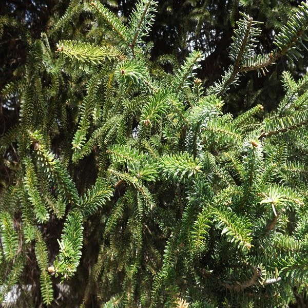 Abies pinsapo (Abeto de Andalucía) - Baby Plant - 3.25€ - Jardimdaceleste.com - Plantas do Bosque & Jardim!