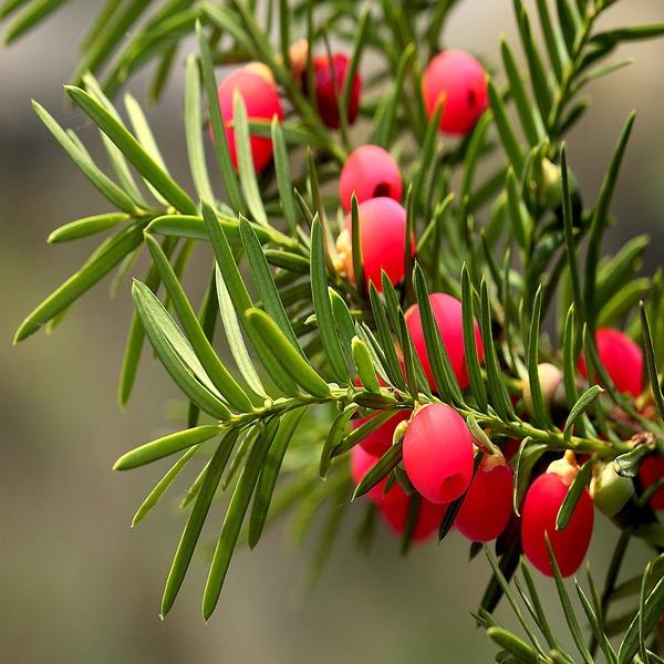 Taxus baccata - Planta - 4.5€ - Jardimdaceleste.com - Plantas Tropicais & Exóticas!