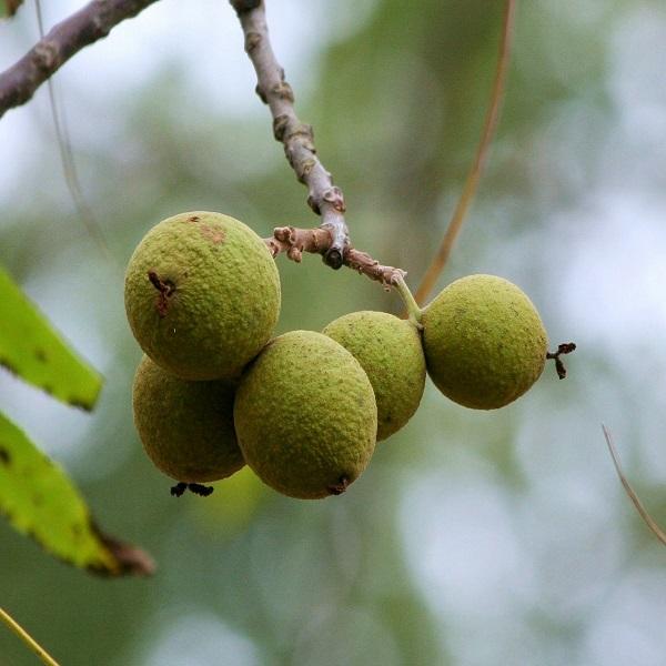 Juglans nigra (Nogueira-preta) - Planta - 8.9€ - Jardimdaceleste.com - Plantas Tropicais & Exóticas!