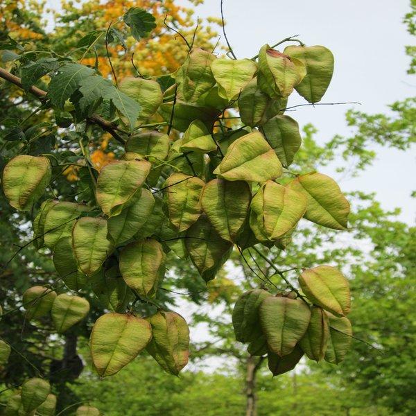 Koelreuteria paniculata (Árvore-da-chuva-dourada) - Plant - 9.5€ - Jardimdaceleste.com - Plantas do Bosque & Jardim!