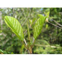 Rhamnus Alaternus - Planta - 12.95€ - Jardimdaceleste.com - Plantas do Bosque & Jardim!