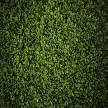 Ligustrum japonicum - Planta - 15.95€ - Jardimdaceleste.com - Plantas do Bosque & Jardim!
