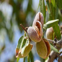 Prunus dulcis - Plant - 8.85€ - Jardimdaceleste.com - Plantas do Bosque & Jardim!