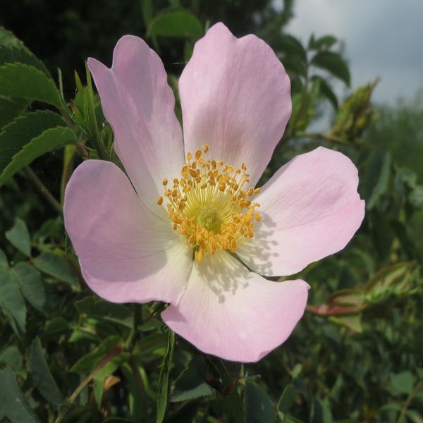 Rosa canina - Plant - 6.95€ - Jardimdaceleste.com - Plantas do Bosque & Jardim!