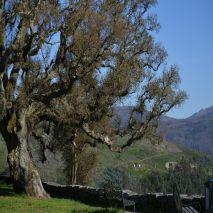 Quercus suber - Planta - 15€ - Jardimdaceleste.com - Plantas do Bosque & Jardim!