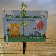 Acer platanoides - Planta - 8.55€ - Jardimdaceleste.com - Plantas Tropicais & Exóticas!