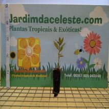 Laurus nobilis (Loureiro) - Planta - 15.45€ - Jardimdaceleste.com - Plantas do Bosque & Jardim!