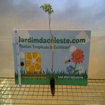 Melia azedarach - Planta - 17.75€ - Jardimdaceleste.com - Plantas do Bosque & Jardim!