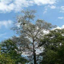 Populus alba - Planta - 16.95€ - Jardimdaceleste.com - Plantas do Bosque & Jardim!