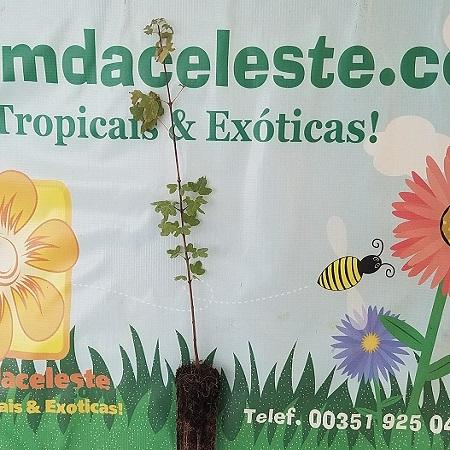 Acer monspessulanum - Planta - 8.55€ - Jardimdaceleste.com - Plantas Tropicais & Exóticas!