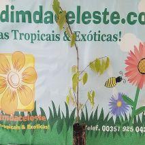 Celtis australis - Planta - 5.45€ - Jardimdaceleste.com - Plantas Tropicais & Exóticas!