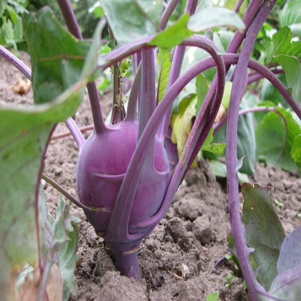 Couve-rábano Violeta (kohlrabi) - Seeds - 2.45€ - Jardimdaceleste.com - Plantas do Bosque & Jardim!