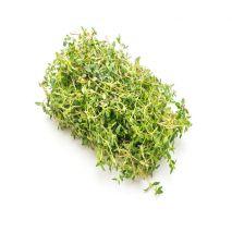 Thymus vulgaris (Tomilho) - Planta - 2.5€ - Jardimdaceleste.com - Plantas do Bosque & Jardim!