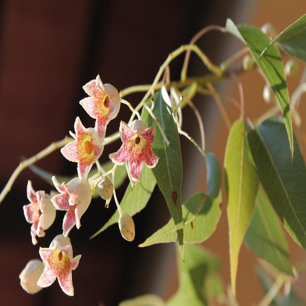 Brachychiton populneus (Perna-de-moça) - Planta - 8.5€ - Jardimdaceleste.com - Plantas Tropicais & Exóticas!