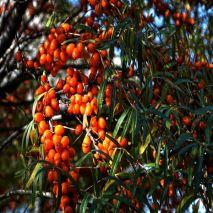 Hippophae rhamnoides - Plant - 8€ - Jardimdaceleste.com - Plantas do Bosque & Jardim!