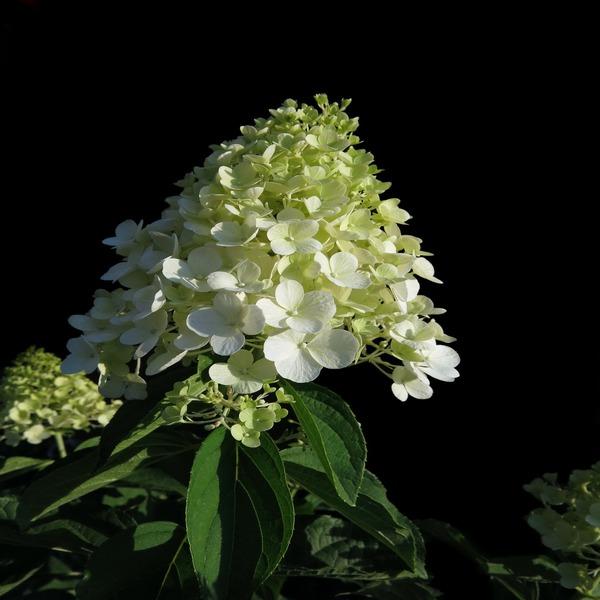 Hydrangea paniculata 'Kyushu' - Planta - 5.95€ - Jardimdaceleste.com - Plantas Tropicais & Exóticas!