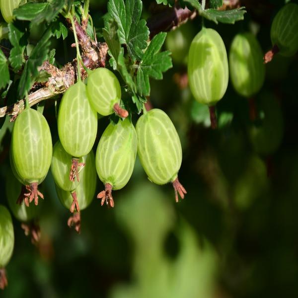 """Ribes uva-crispa """"Hinnonmaki Green"""" (Groselha Verde) - Planta - 4.5€ - Jardimdaceleste.com - Plantas Tropicais & Exóticas!"""