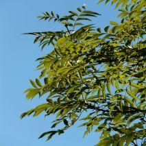Fraxinus angustifolia (Freixo-de-folhas-estreitas) - 15.25€ - Jardimdaceleste.com - Plantas do Bosque & Jardim!