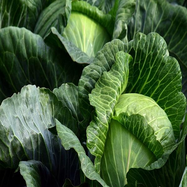 """Brassica oleracea capitata """"Golden Acre"""" (Couve-Repolho) - Seeds - 1.5€ - Jardimdaceleste.com - Plantas do Bosque & Jardim!"""