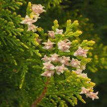 Tetraclinis articulata (Cipreste-do-atlas) - Planta - 4.9€ - Jardimdaceleste.com - Plantas do Bosque & Jardim!