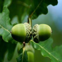 Quercus faginea  (Carvalho-cerquinho) - Planta - 15.85€ - Jardimdaceleste.com - Plantas do Bosque & Jardim!
