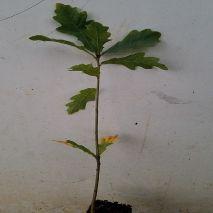 Quercus robur (Carvalho-alvarinho) - Planta - 15.85€ - Jardimdaceleste.com - Plantas do Bosque & Jardim!