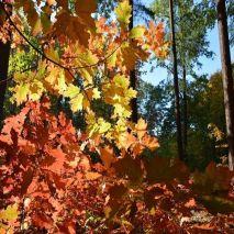 Quercus robur (Carvalho-alvarinho) - Planta - 7.85€ - Jardimdaceleste.com - Plantas do Bosque & Jardim!
