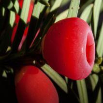 Taxus baccata - Planta - 8.5€ - Jardimdaceleste.com - Plantas do Bosque & Jardim!