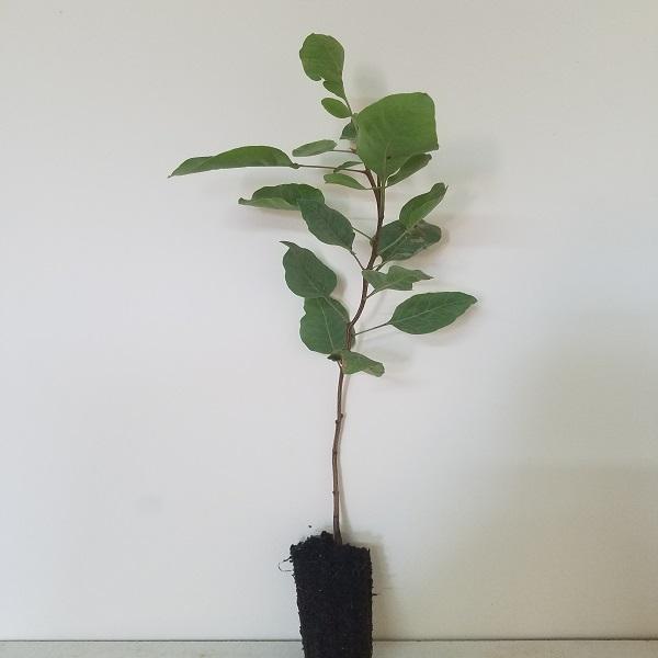 Pistacia vera (Pistachio) - Plant - 9€ - Jardimdaceleste.com - Plantas do Bosque & Jardim!