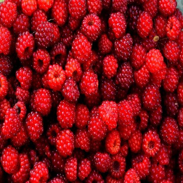 Rubus phoenicolasius (Framboesa do Japão) - Plant - 14€ - Jardimdaceleste.com - Plantas do Bosque & Jardim!