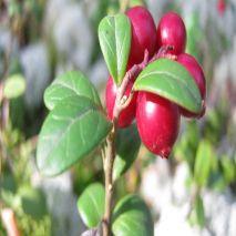 Vaccinium macrocarpon (Cranberries  / Arando Vermelho) - Planta - 18.55€ - Jardimdaceleste.com - Plantas do Bosque & Jardim!