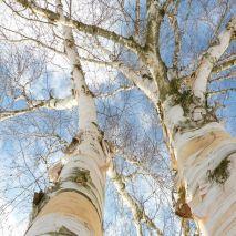 Betula alba - Planta - 15.5€ - Jardimdaceleste.com - Plantas do Bosque & Jardim!