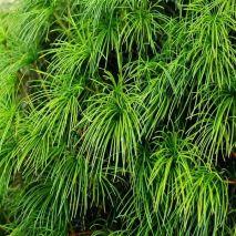 Pinus pinea (Pinheiro Manso) - Planta - 5.5€ - Jardimdaceleste.com - Plantas do Bosque & Jardim!