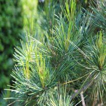 Pinus pinaster - Planta - 14.2€ - Jardimdaceleste.com - Plantas do Bosque & Jardim!