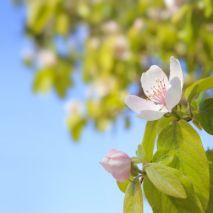 Prunus avium var sylvestris - Planta - 15.4€ - Jardimdaceleste.com - Plantas do Bosque & Jardim!
