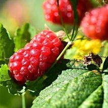 Buckingham Tayberry (Rubus fruticosus x R. idaeus) - Planta - 17€ - Jardimdaceleste.com - Plantas do Bosque & Jardim!
