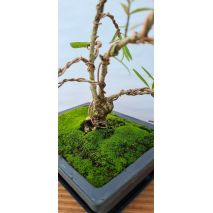 BONSAI - Phillyrea angustifolia - 47€ - Jardimdaceleste.com - Plantas do Bosque & Jardim!