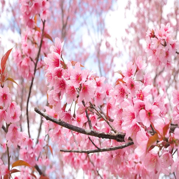 Prunus avium var sylvestris - Plant - 8.85€ - Jardimdaceleste.com - Plantas do Bosque & Jardim!