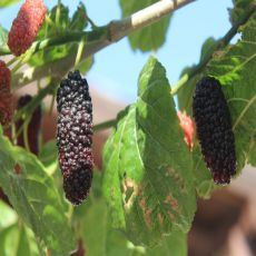 Morus nigra - Planta - 8.95€ - Jardimdaceleste.com - Plantas do Bosque & Jardim!
