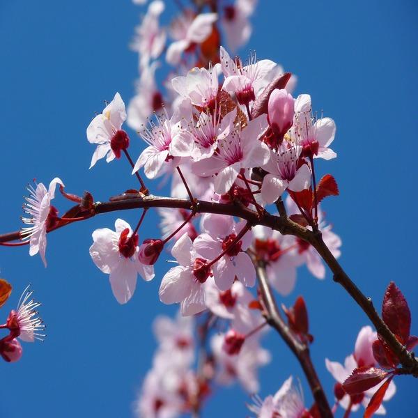 Prunus dulcis - Planta - 4.85€ - Jardimdaceleste.com - Plantas Tropicais & Exóticas!