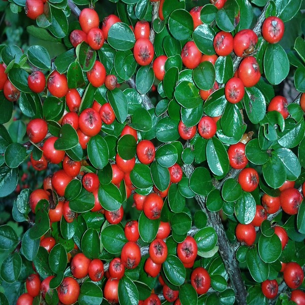 Cotoneaster horizontalis - Plante - 2€ - Jardimdaceleste.com - Plantas Tropicais & Exóticas!
