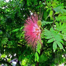 Albizia julibrissin - jardimdaceleste.com